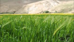 Highland-barley-07