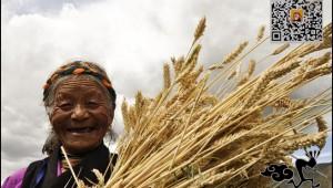 Highland-barley-02